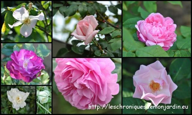Quels soins aux rosiers les chroniques de mon jardin - Quand mettre du fumier de cheval dans le jardin ...