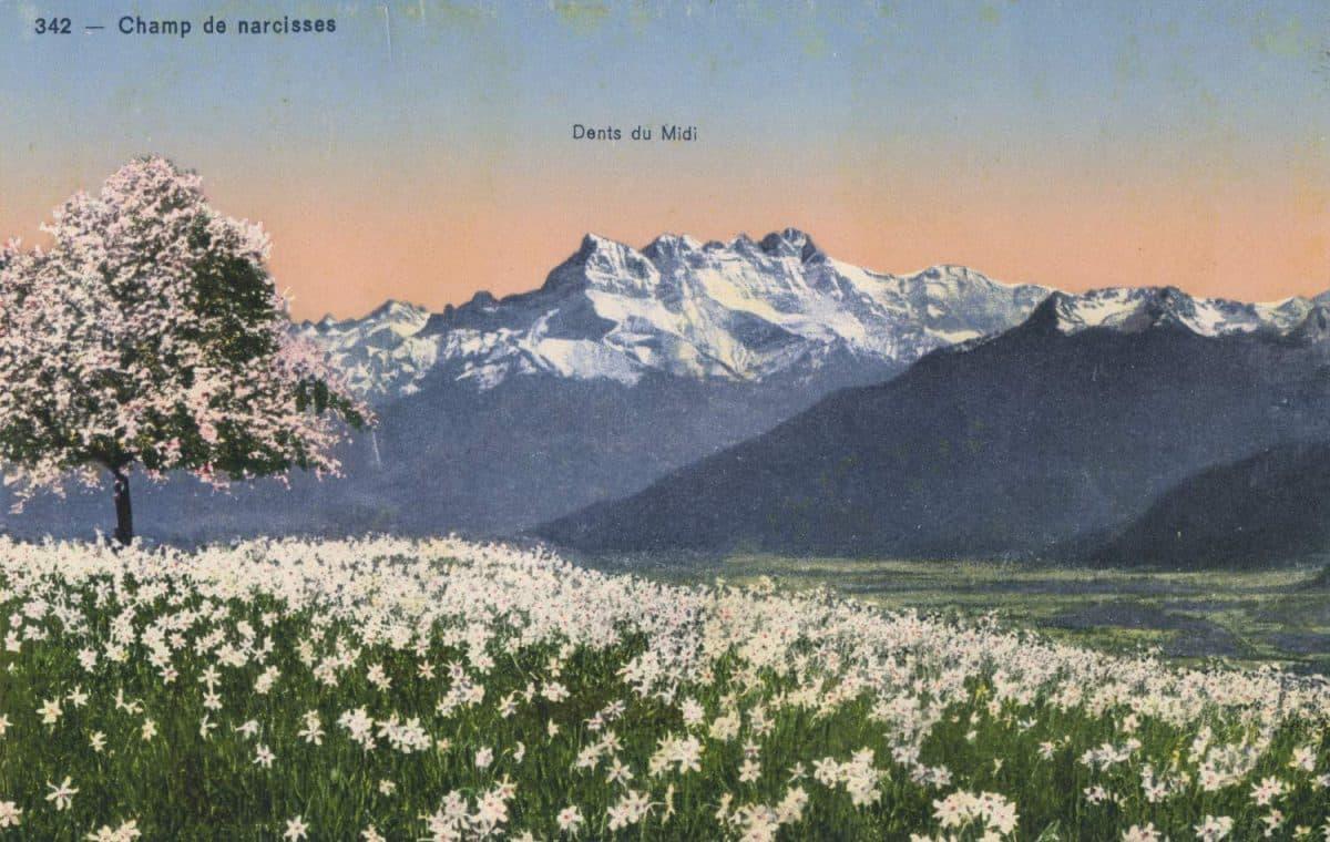 Carte postale, Champ de narcisses