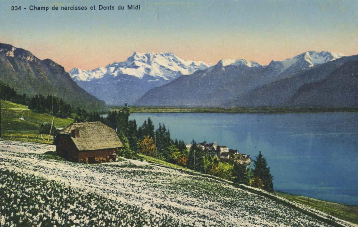 Carte postale, Champ de narcisses et Dents du Midi