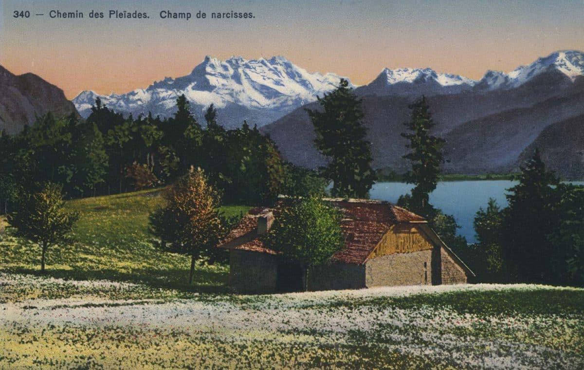 Carte postale, Chemin des Pléïades. Champ de narcisses