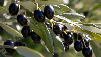 Photo de Morocco Foodex. Les olives noires à l'assaut du marché américain