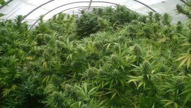 Photo de Cannabis, une filière économique à part entière?