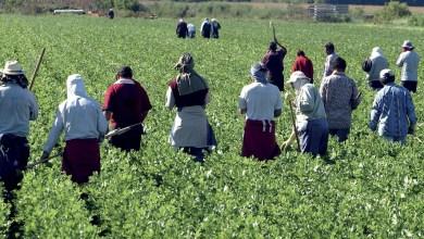 Photo de Agriculture: le transport des ouvriers perturbé