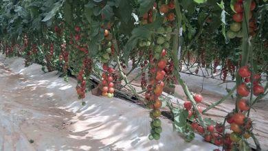 Photo de Tomate. La FEPEX ravive le débat sur la VFI