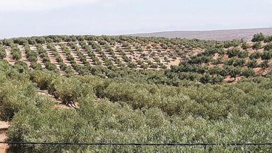Photo de Sefrou : 2020, une année faste pour la production d'olives