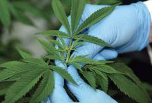 Photo de Usage légal du cannabis : l'Agence nationale sur les rails