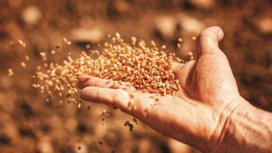 Photo de Oléagineux : des semences européennes pour la filière locale
