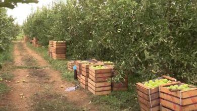 Photo de Production de la pomme : une bonne récolte à Fès-Meknès