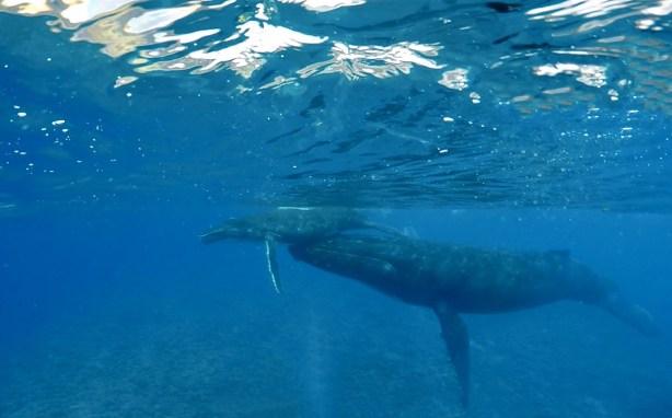 activités-a-moorea-nager-avec-les-balines