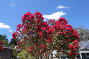 australie-sydney-blue-mountains-arbre-fleurs