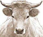 dessin numérique au crayon - portrait d'une vache des asturies