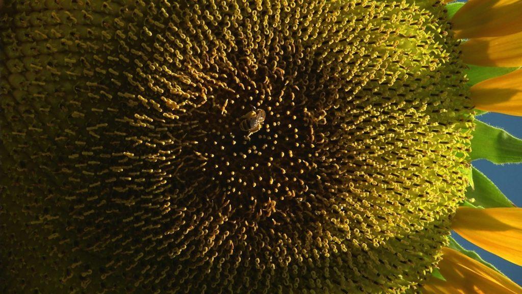 Abeille en train de butiner une fleur de tournesol. Image du film Le temps du jardin, réalisé et produit par Olivier Moulaï, résidence Occit'Avenir au Lycée Maillol Perpignan