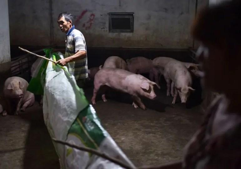 Alerte à la peste porcine en Chine
