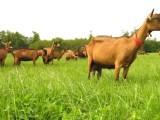 Quand les robots contribuent au bien-être des chèvres du Loir-et-Cher