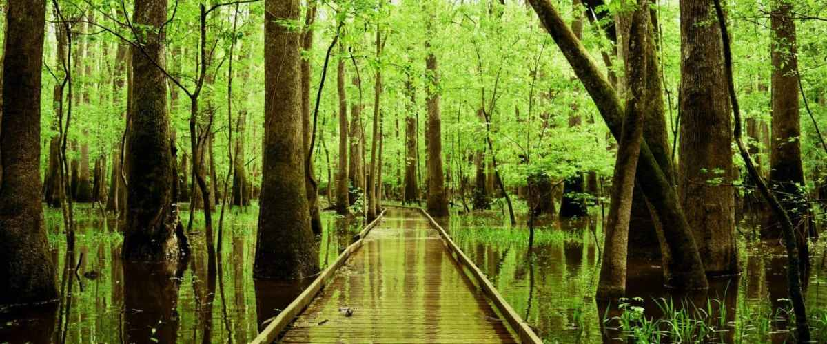 Ponton submergé par l'eau au milieu de la forêt humide.