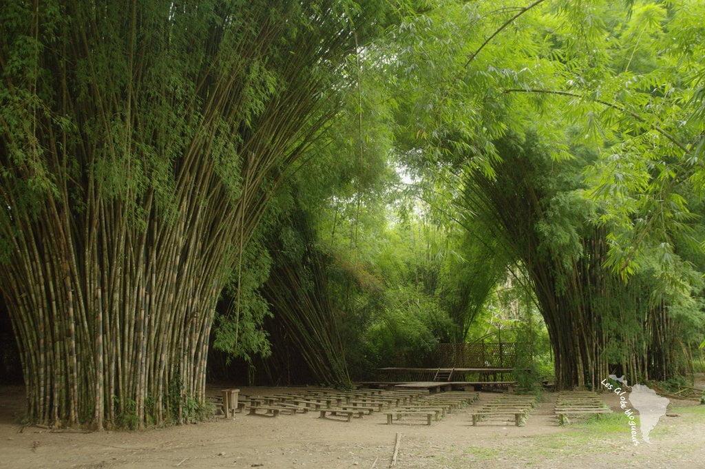 bambou géant honduras forêt