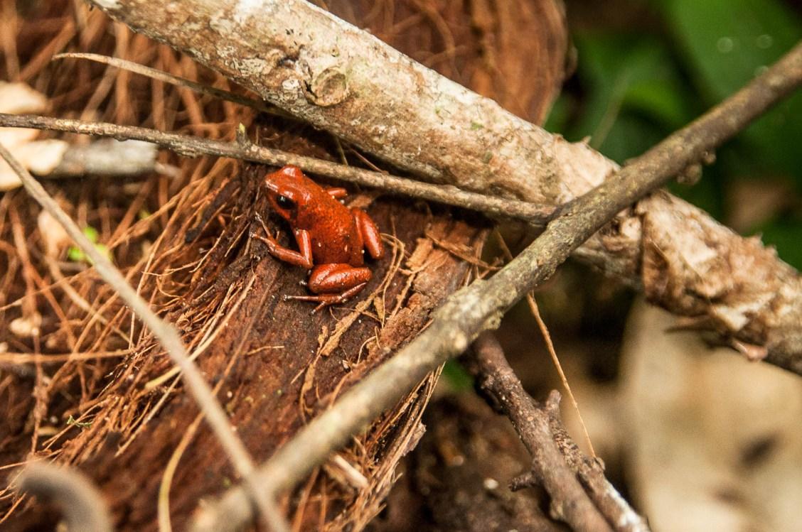 manzanillo grenouille