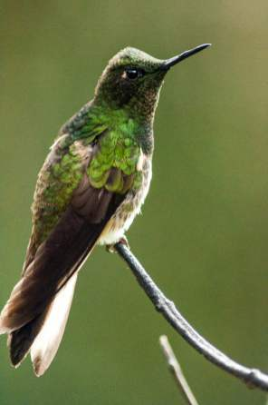 cocora-colibri-vert-gros-plan