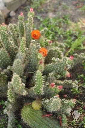 Tilcara cactus argentine