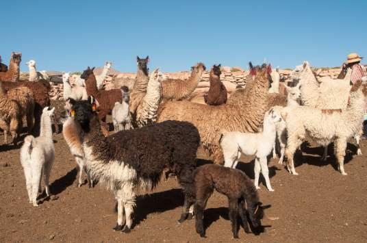élevage lamas bolivie