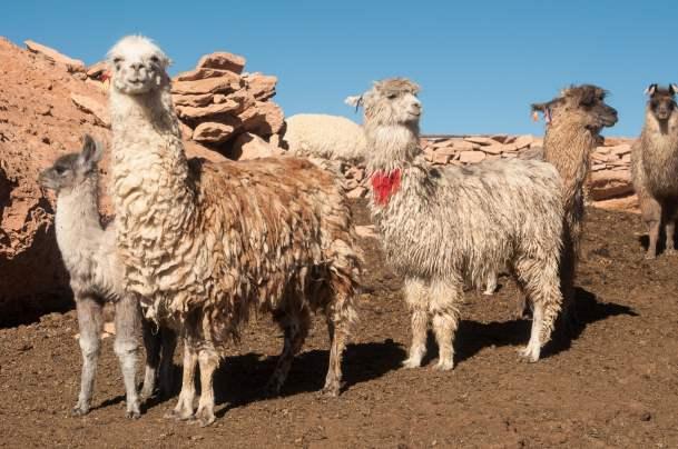 Elevage lamas altitude