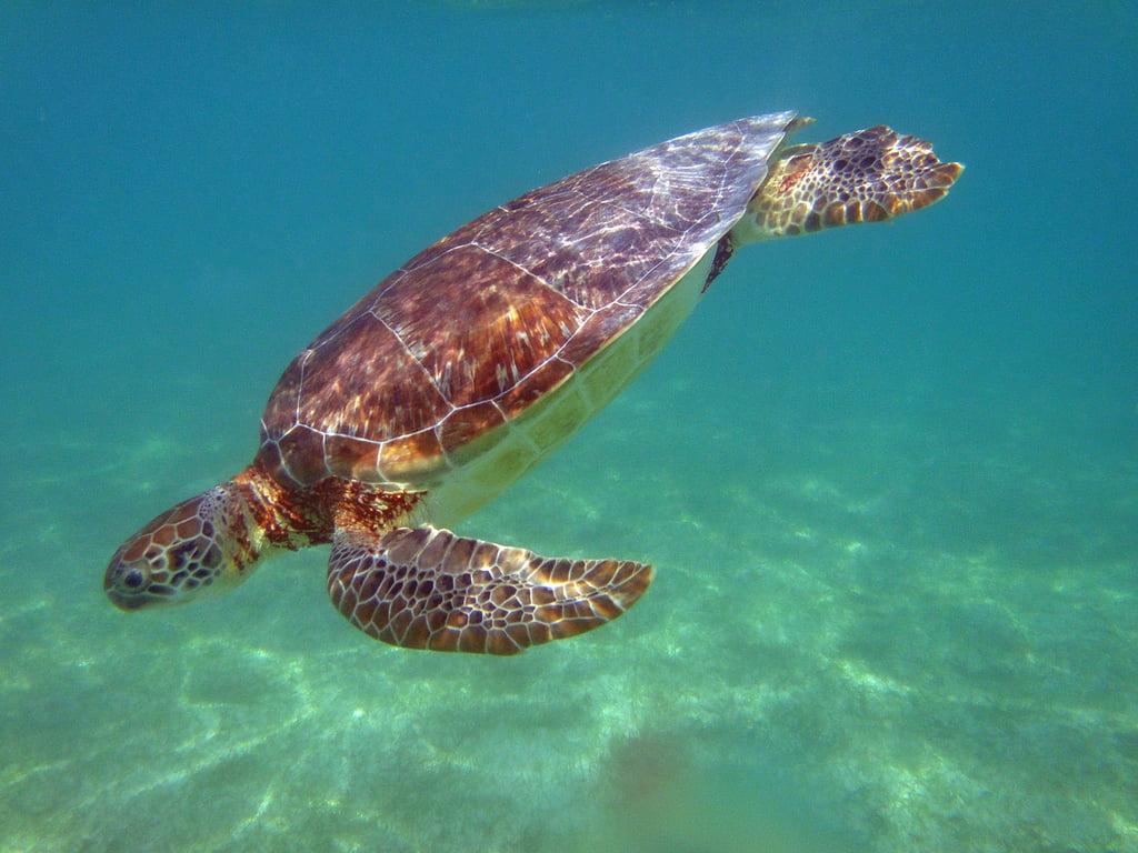 Observation des tortues à Akumal, Mexique Photo : allen mc gregor - creative commons