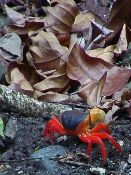 crabe tricolore parc manuel