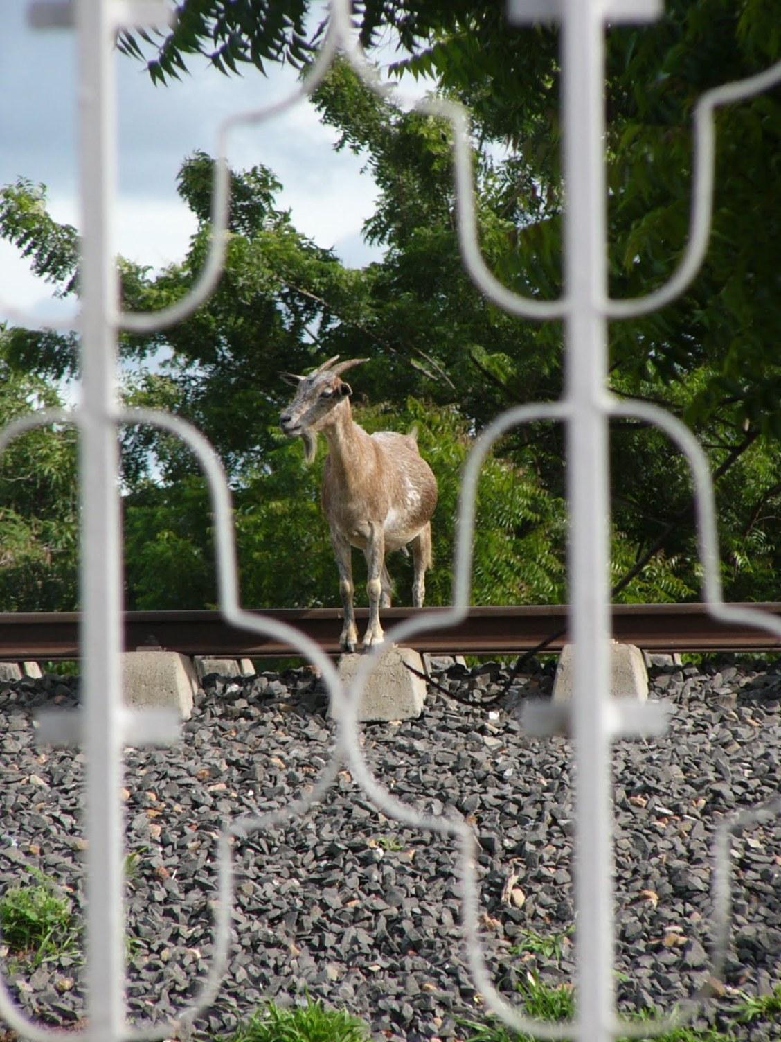 chèvre campagne sénégal