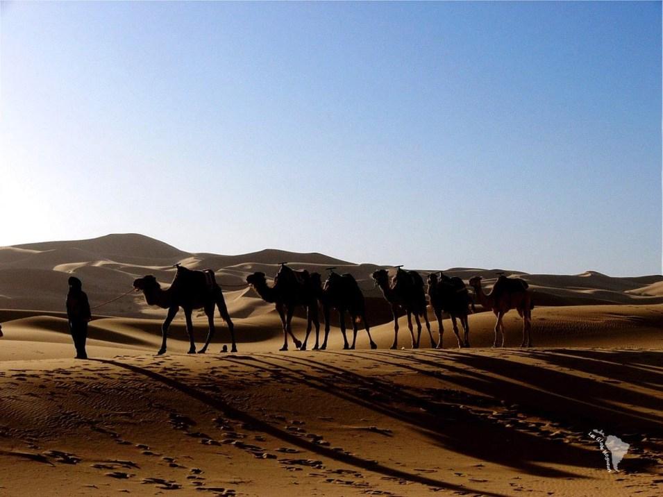 dromadaire désert maroc