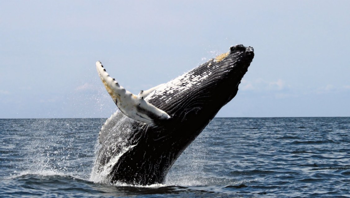 baleine a bosse en plein saut