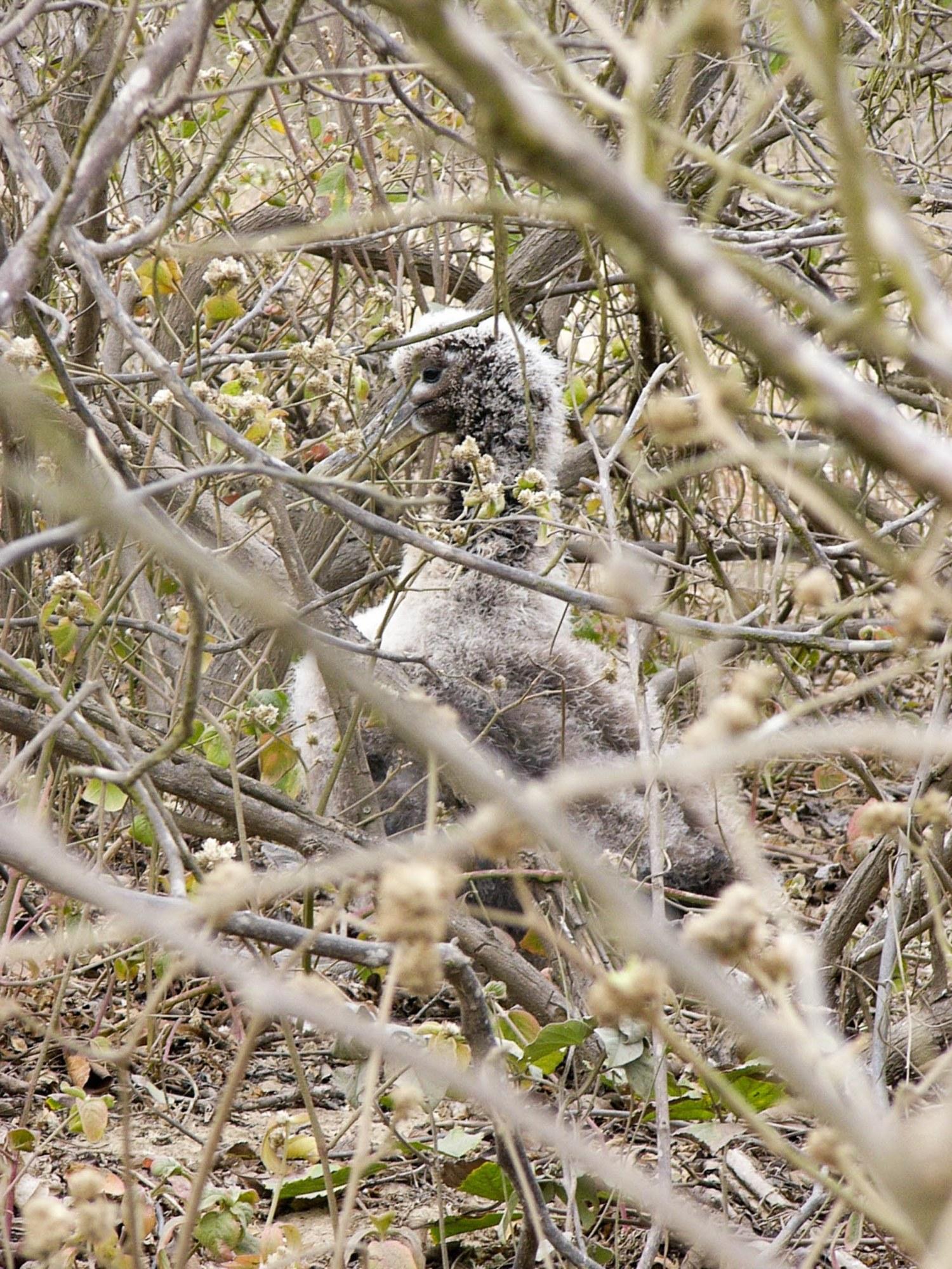 Bébé albatros