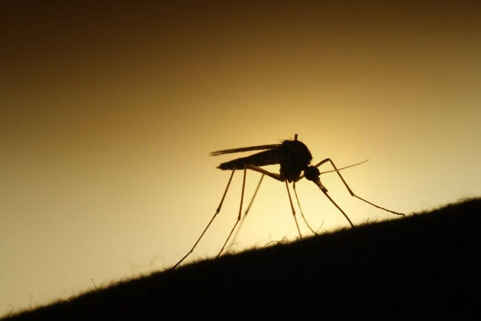 C'est presque beau un moustique en contre jour