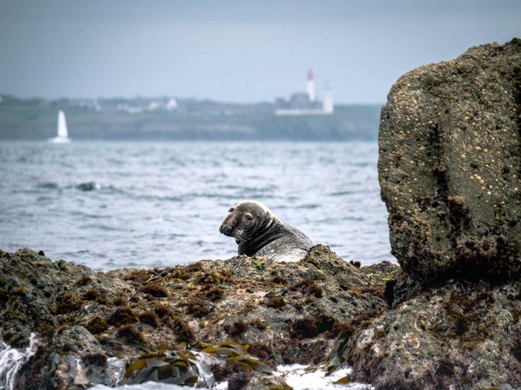 phoques gris parc naturel maritime d'iroise