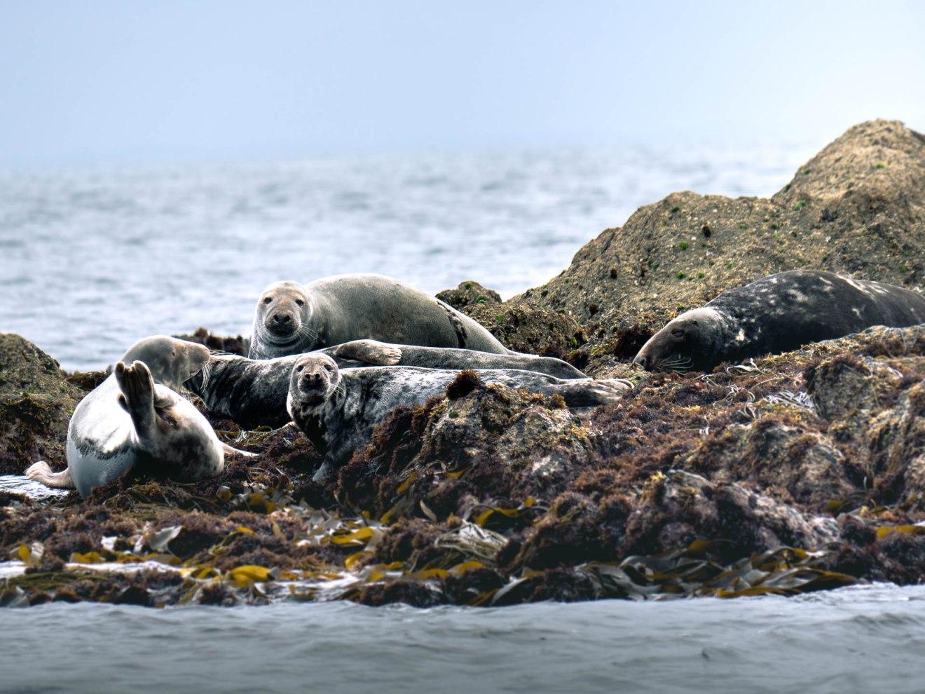 colonie de phoques gris en mer d'iroise