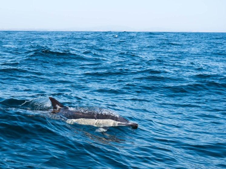 algarve dauphin