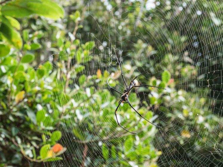 Eluanbi araignée