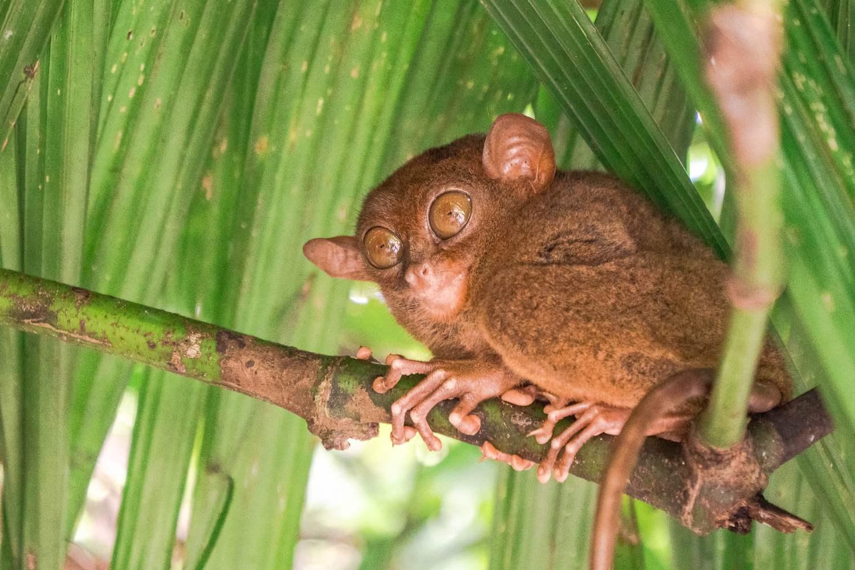 tarsier bohol philippines