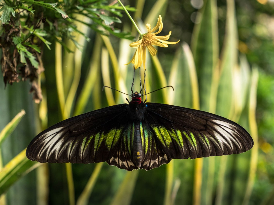 cameron highland papillon