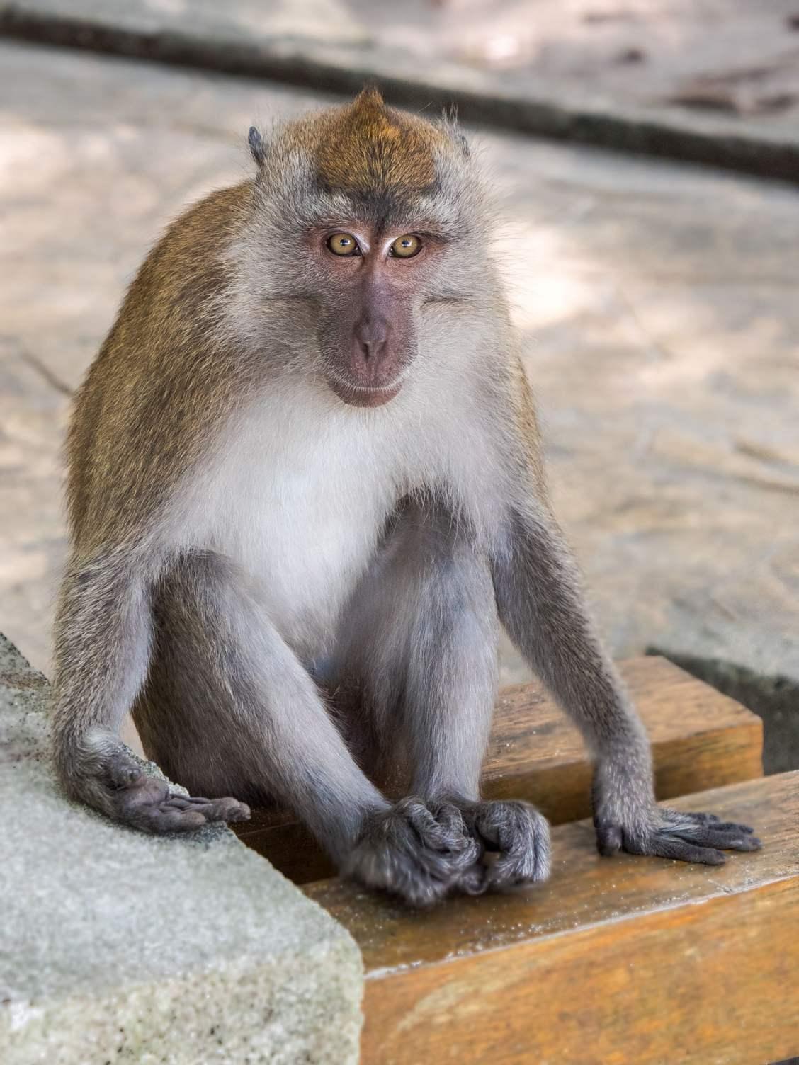 Penang macaque bis