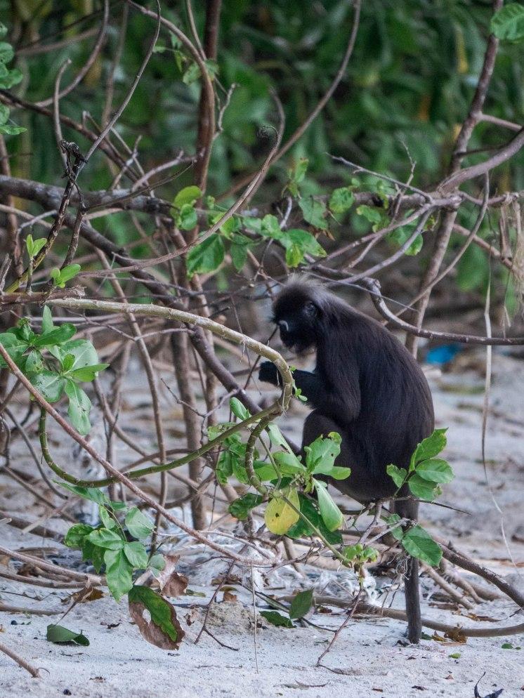 singe parc national de Penang