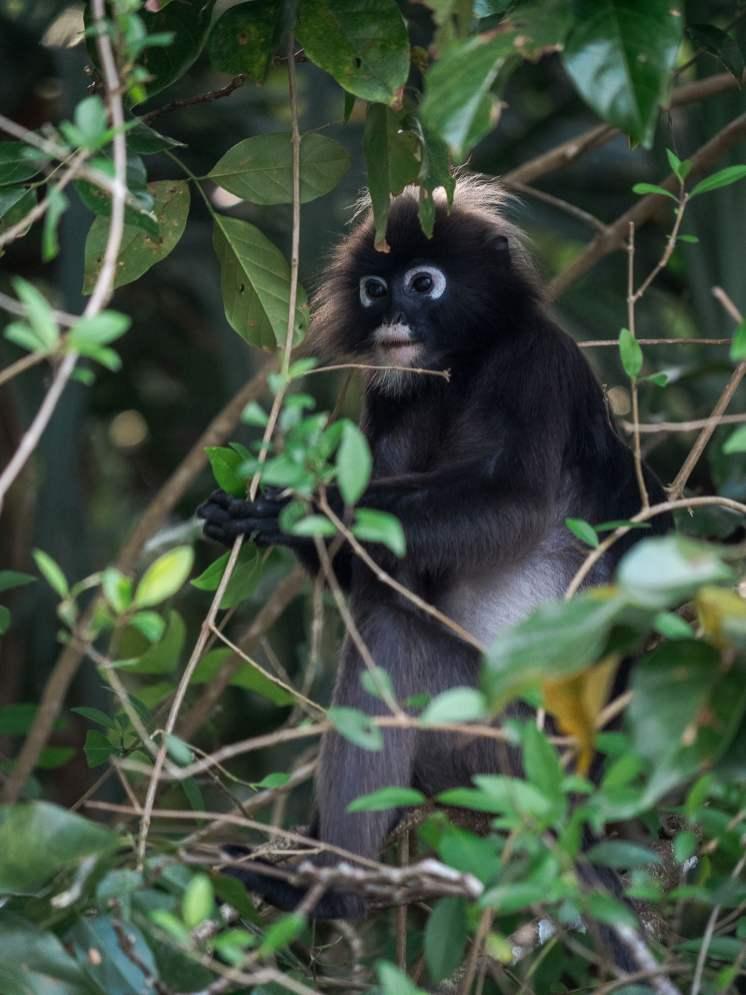 singe parc national de Pénang