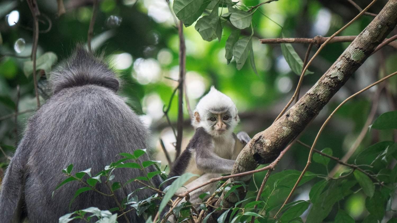 thomas leaf Bukit lawang sumatra
