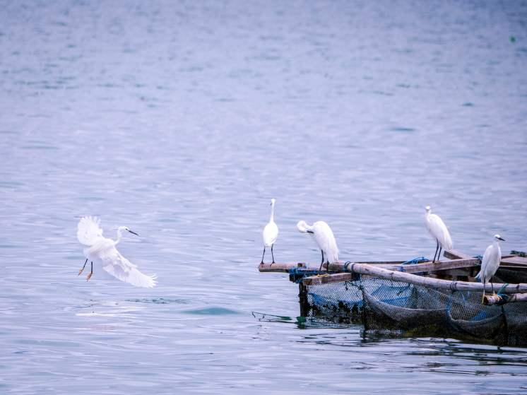 Aigrette sur le lac Toba à Sumatra
