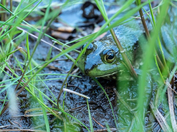 Fundy grenouille