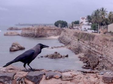 Galle 1 corbeau
