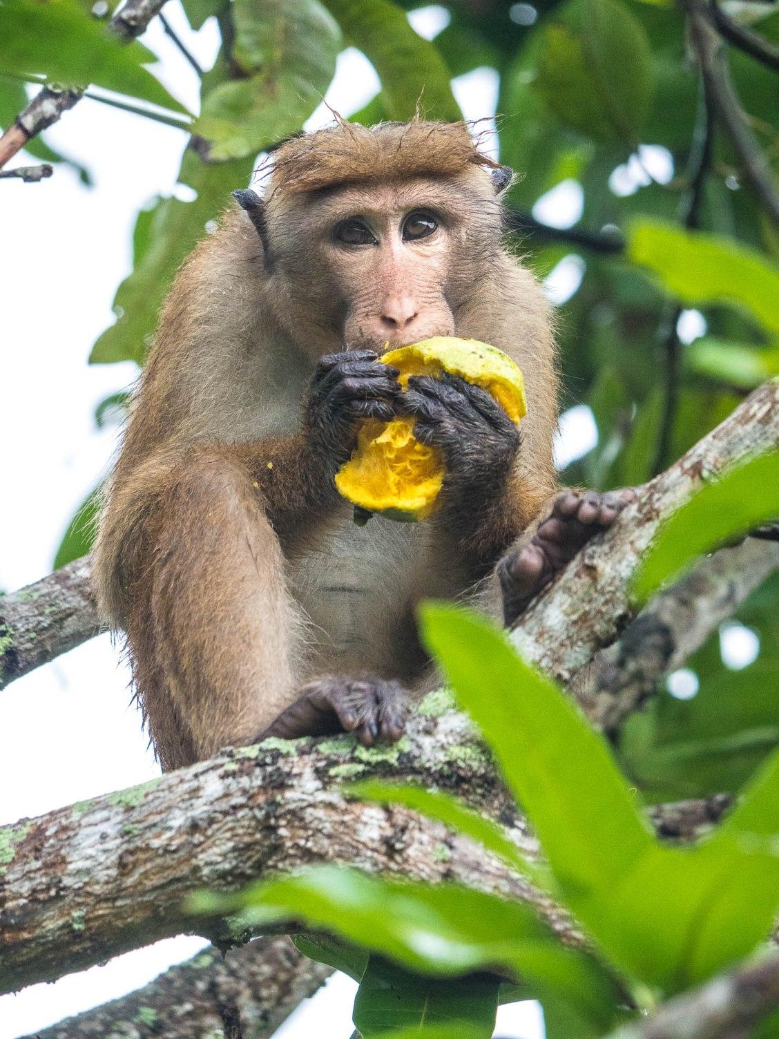 mirissa macaque toque mangue bis