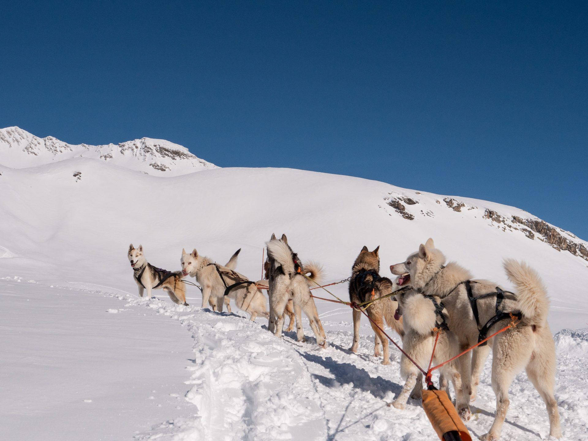 Orcières Merlette 1850 dans les Hautes Alpes - chiens de traineau