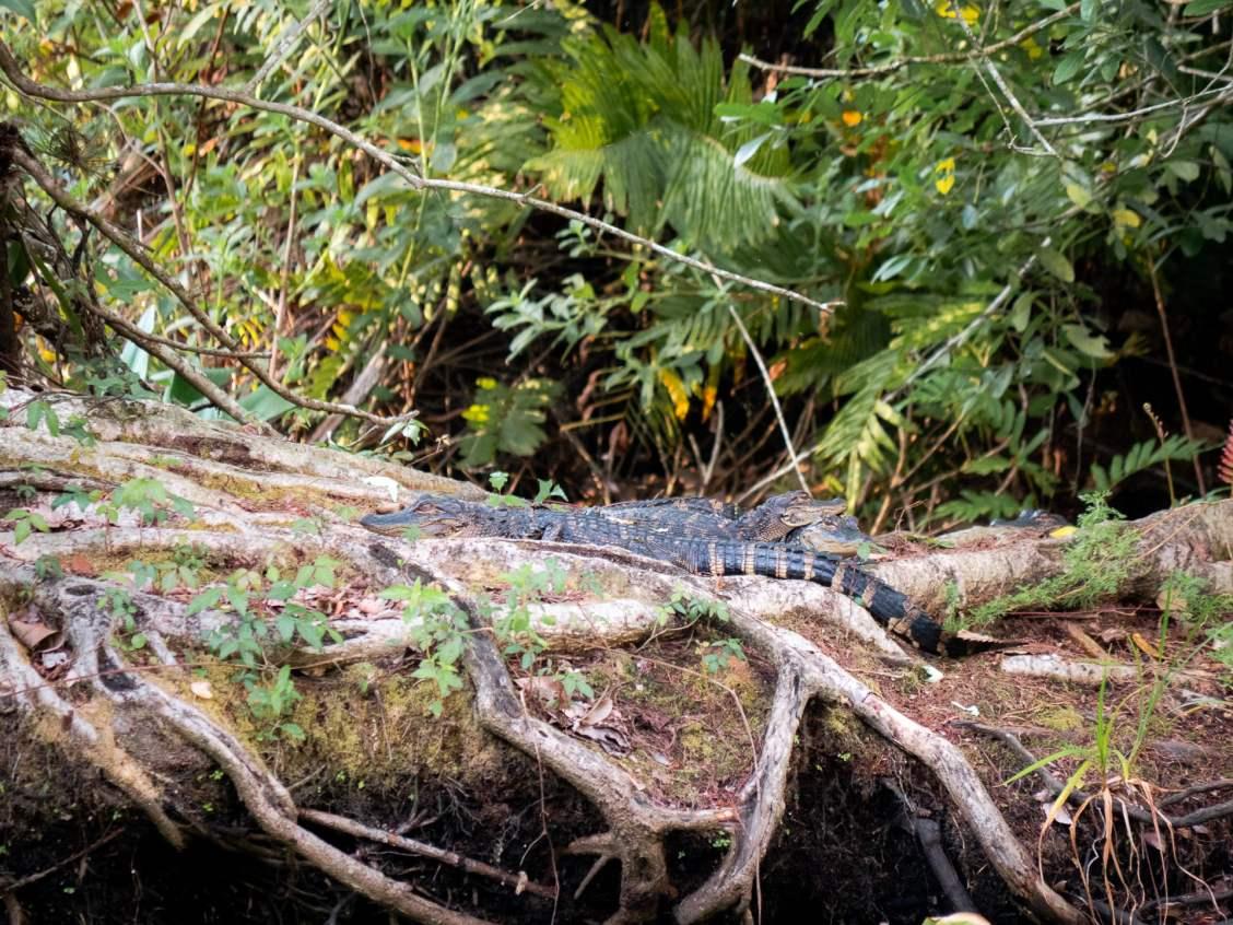 alligator corkscrew swamp sanctuary