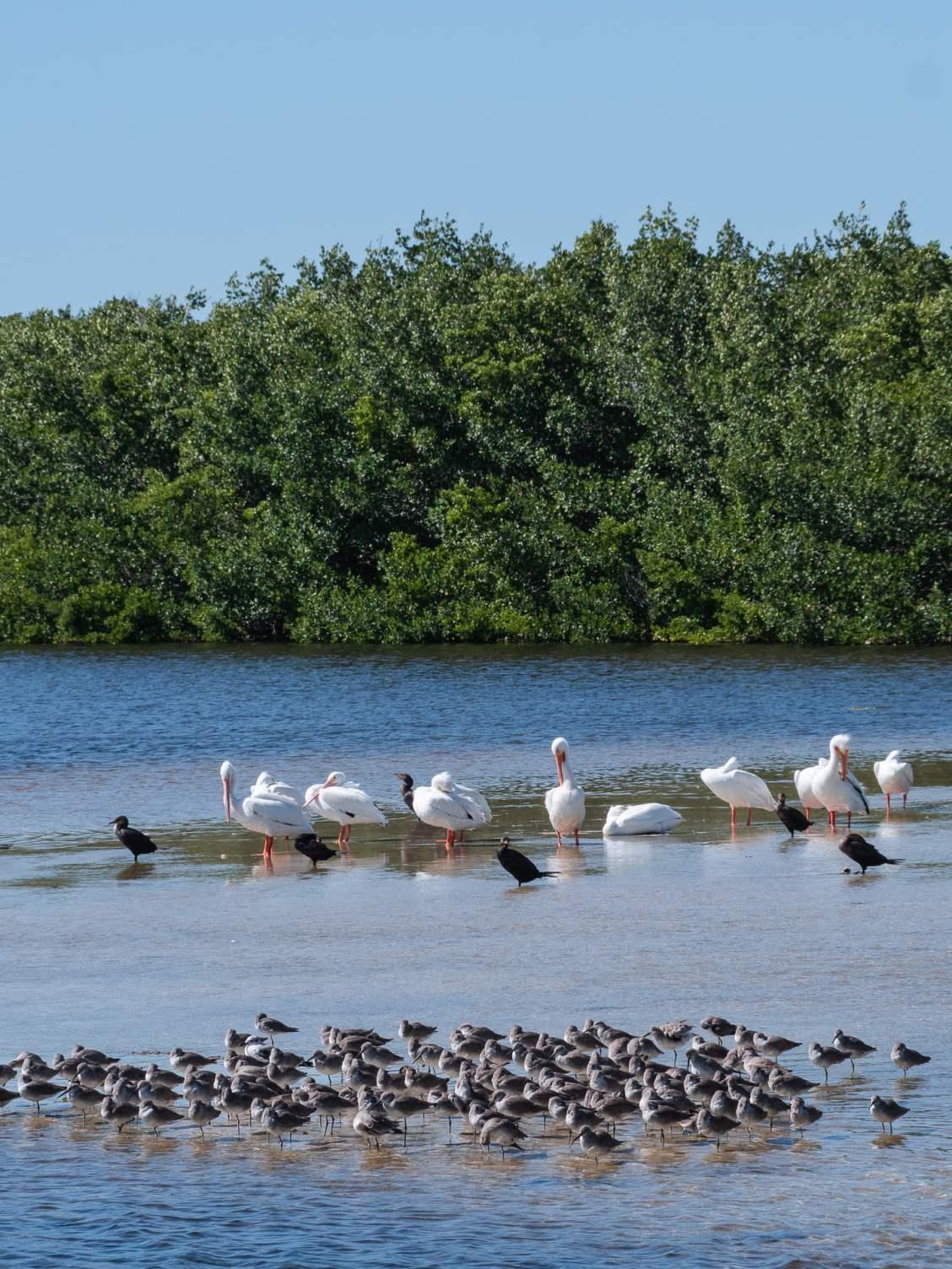 Pélican oiseaux floride