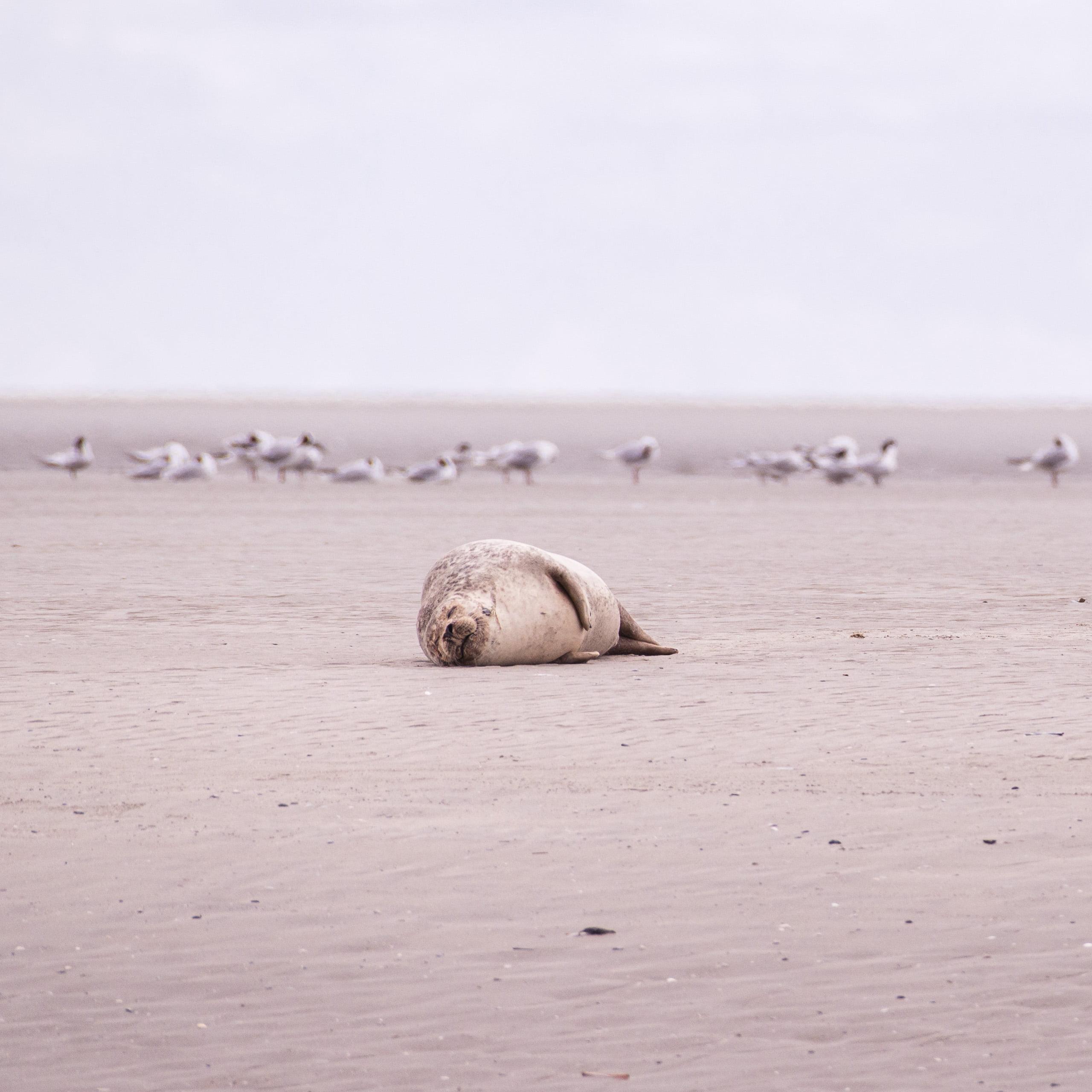 phoque berck sur mer côte d'opale